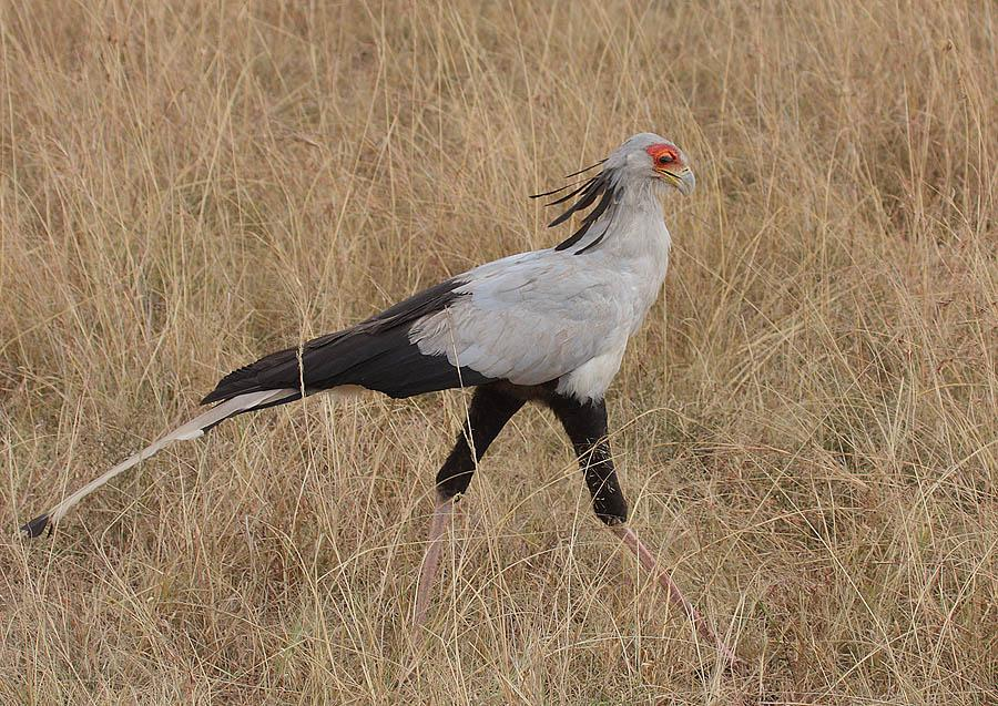 Sekretär; Steve Garvie from Dunfermline, Fife, Scotland - Secretary Bird (Sagittarius serpentarius)Uploaded by Snowmanradio, CC BY-SA 2.0, https://commons.wikimedia.org/w/index.php?curid=12787287